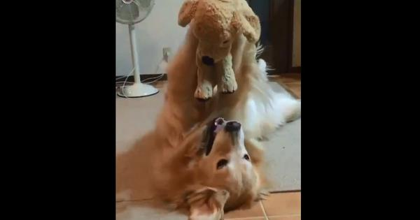 Watch: A dog playing with a puppy that is actually a stuffed toy is what everyone wants to see
