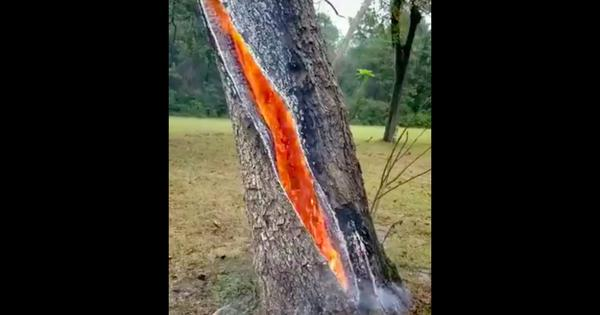 Watch: How do the insides of a tree look when struck by lightning?