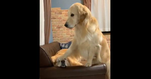 Watch: When one dog cannot stop doting on another one
