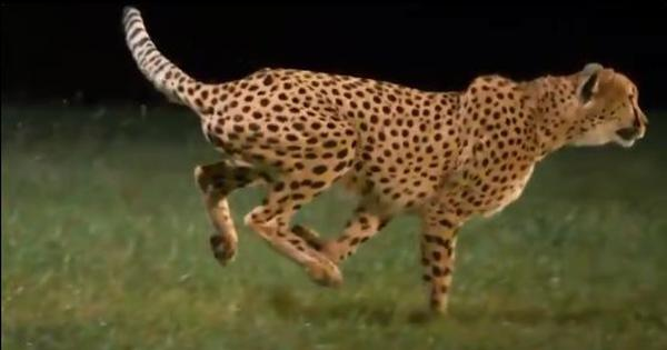 Watch: Here is a slow-motion video of a sprinting cheetah, the fastest animal on earth