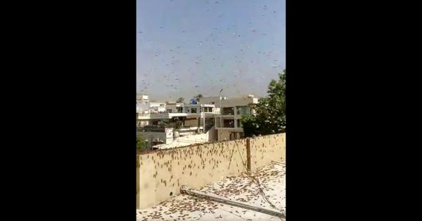 Watch: Locusts swarm across Karachi city, agricultural minister suggests making biriyani with them