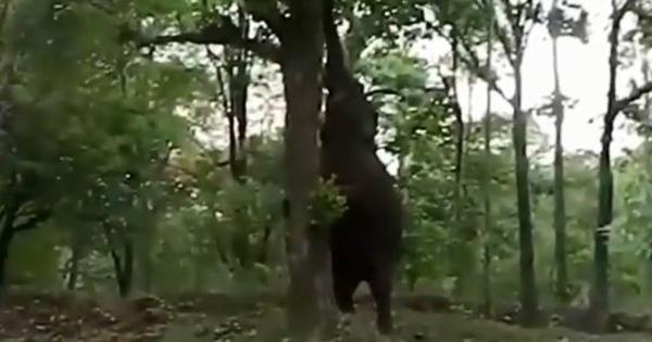 Watch: This elephant eating jackfruit off a tree is going viral for all the right reasons