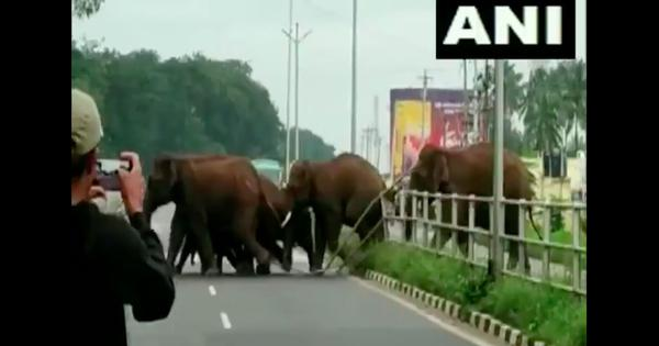 Watch: Elephant matriarch clears a highway divider for her herd, traffic halts for the family