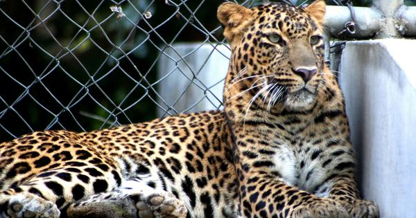 As forests disappear in India, leopards have learnt to live and prey among human habitats