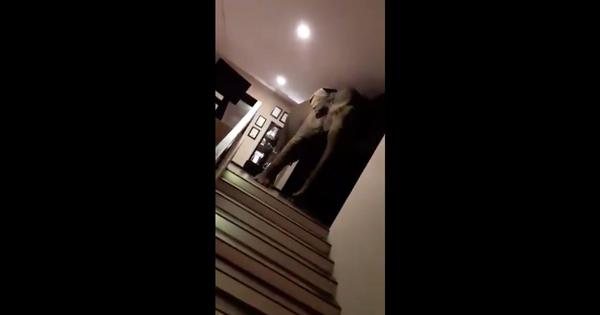 Watch: Curious elephant enters a Sri Lankan hotel and wanders about, gently investigating the area