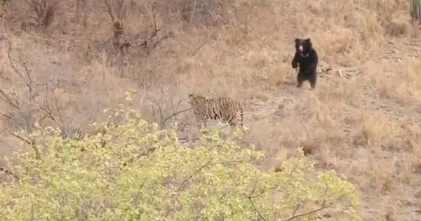 Watch: This Ranthambore bear managed to send two tigers packing by standing up on its hind legs
