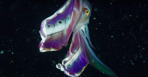 Watch: The spectacular female 'Blanket Octopus' was seen unfurling its stunning, fleshy cape