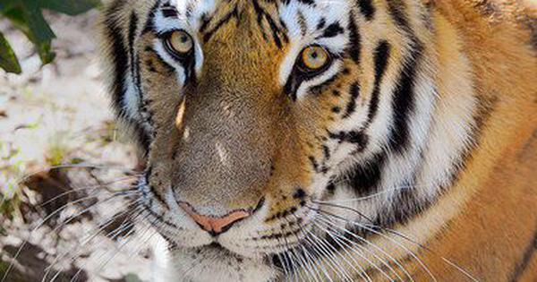 Coronavirus: Tiger found infected in New York zoo
