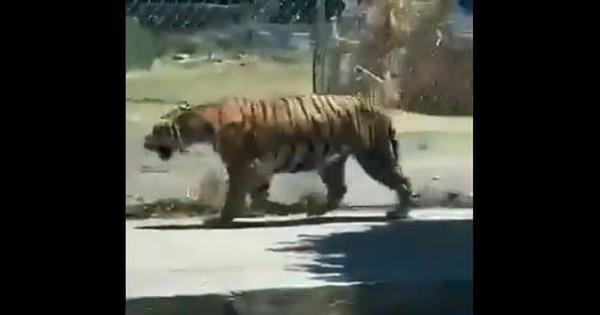 Watch: Video shows tiger walking down a Mexico street with a man carrying a lasso behind it