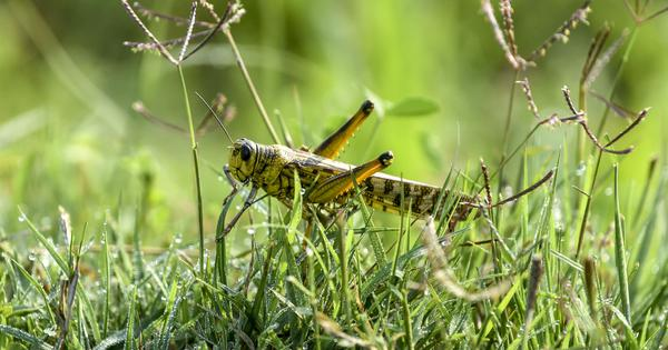 Locust attacks: Delhi issues advisory with list of preventive measures