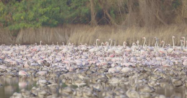Eco India: The phenomenon that could explain the three-fold increase in Mumbai's flamingo population