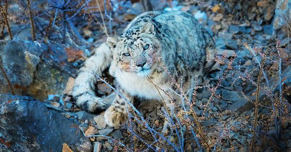 India's first rescued snow leopard cub was released into the wild near a Himachal Pradesh village