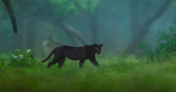 Karnataka: Black panther spotted in Nagarhole National Park