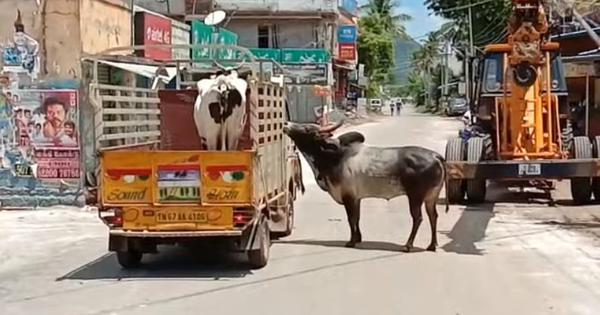 Watch: Manjamalai the bull protests while Laxmi the cow is being taken away