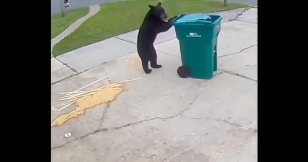 Caught on camera: A clever bear wheels a bin to a spot on the grass before inspecting its contents