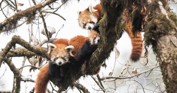 Illegal wildlife trade between India, Nepal and China threatens red pandas and pangolins
