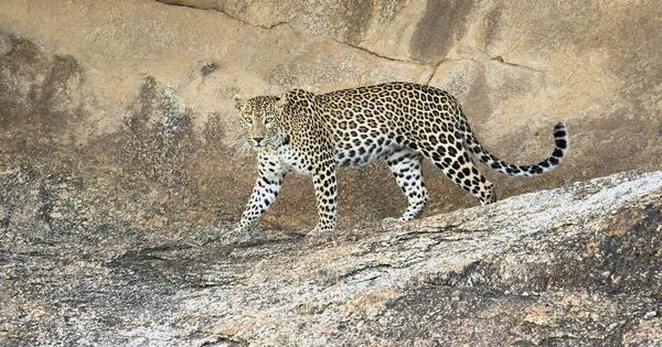 Tourism threatens coexistence between humans and free-roaming leopards at Rajasthan's Bera