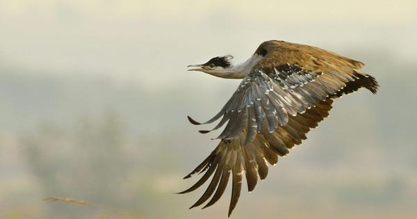 The great Indian bustard used to breed in two places. Karnataka might have made it one