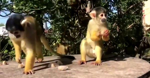 Watch: Squirrel monkeys savour ice lollies at London Zoo as temperatures climb