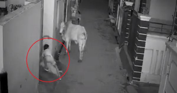 Watch: Brave child attempts to save old woman from bovine on the rampage