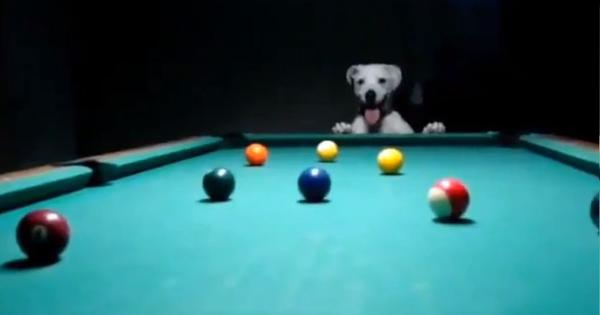 Watch: This dog is playing pool with its paws and doing a brilliant job