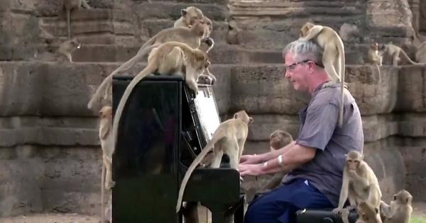 Watch: British musician plays the piano to raise awareness about Thailand's hungry monkeys