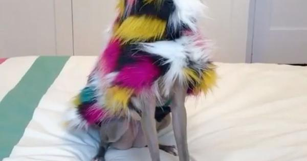 Fashionable dog laments outfits it could not wear in 2020