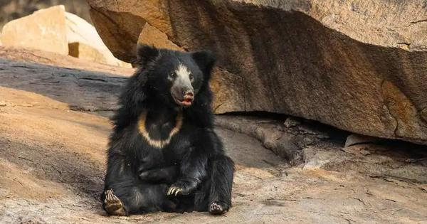 A corridor meant to protect sloth bears around Mount Abu may not actually serve its purpose
