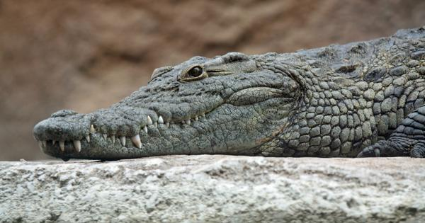 Why crocodiles still look the same as they did 200 million years ago