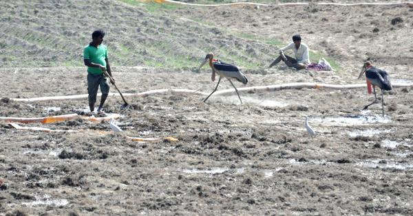In Bihar, farmers have taken it upon themselves to protect the endangered Greater Adjutant Stork
