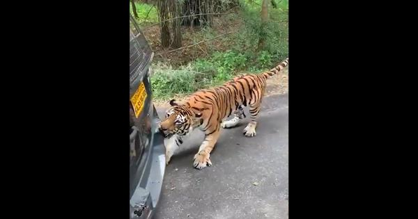 Watch: Tiger drags safari vehicle backwards in Bengaluru's Bannerghatta park