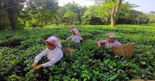 Eco India: Meet the tea-growers bringing in sustainable practices to Assam's lush tea gardens
