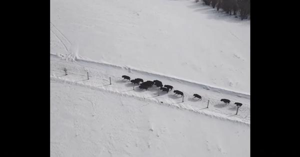 Watch: Bison return to this Canadian territory for the first time in over a century