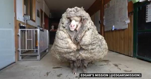 Watch: Wild sheep has massive 35 kg fur coat cut off after five years of unchecked growth