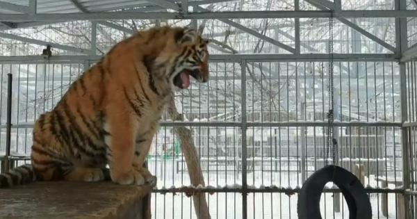Watch: Have you ever heard a tiger sing? This one in Russia is distinctly melodious