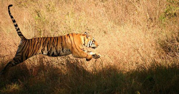 Saved by a whisker: Plans to mine a Telangana tiger reserve for uranium have been shelved