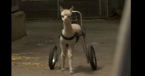 Watch: Disabled baby alpaca walks again, thanks to its new 'wheels'