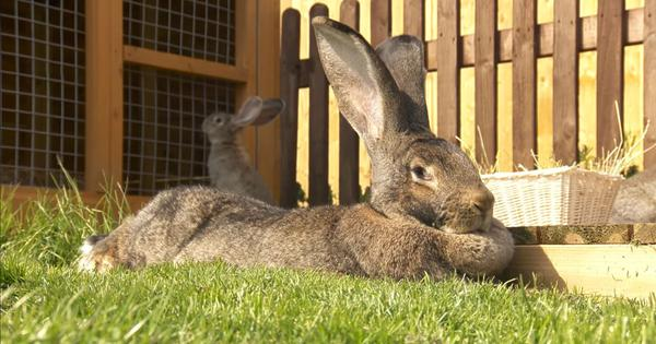 Watch: Meet the 'world's biggest bunny', stolen from a UK garden, with a finder's reward of £1,000