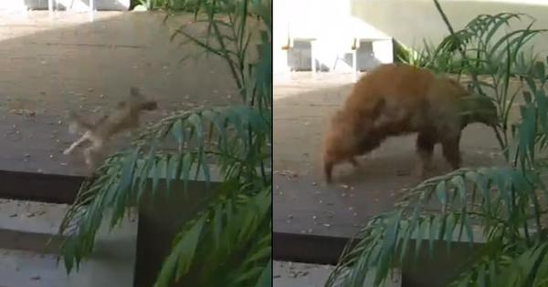 Watch: Bear enters house, strolls around. Then two tiny terriers scare it away