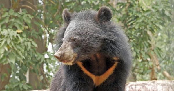 In Arunachal Pradesh, saving the Asiatic black bear from wildlife trade needs a nuanced approach