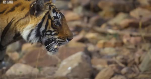 Watch: Nature's colour vision trick allows this tiger to creep up unseen on her prey
