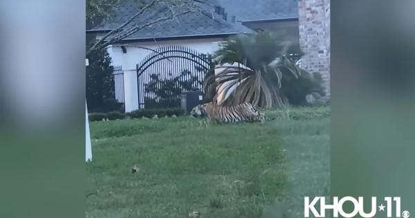 Caught on camera: Tiger with collar spotted prowling around a Texas front yard