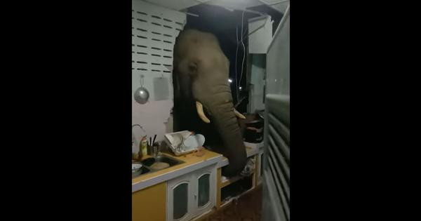 Watch: Elephant breaks through family's kitchen wall searching for snacks after midnight