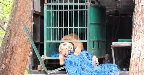 Watch: Tiger leaps ecstatically back into the wild after successful rescue operation