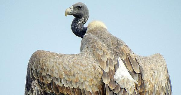 How a village in Maharashtra's Raigad district is trying to save vultures from extinction
