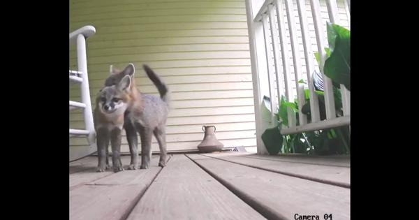 Caught on camera: Fox pups play on porch outside home in Vermont, US