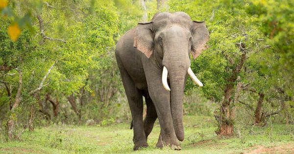 The rewilding of Rivaldo in Tamil Nadu gives hope for radical change for elephants in captivity