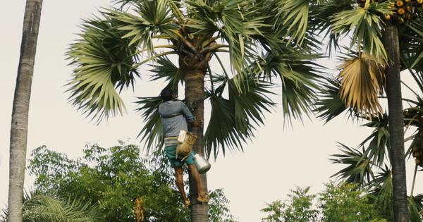 Eco India: Tamil Nadu's ban on toddy leaves Palmyra climbers fighting for their livelihoods