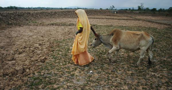 How Assam's cow protection law could devastate the state's already-stressed rural economy