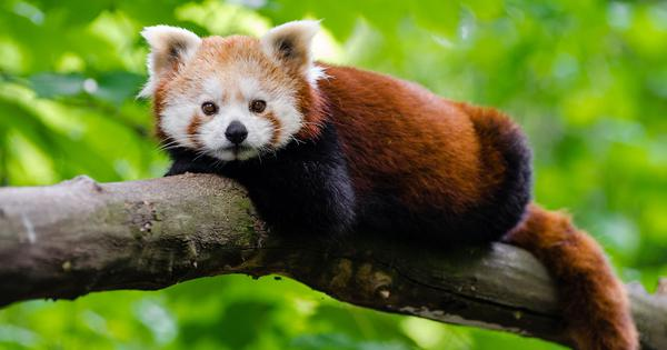 Unusual frogs and red pandas: Genetic science is identifying more species in the Himalayas